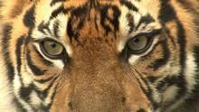 Sumatra's Last Tigers show