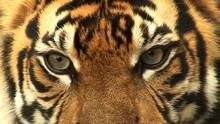 Последний тигр Суматры программа