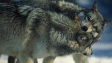 Das Tal der Wölfe Programm