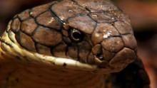 Les secrets du cobra royal Voir la fiche programme