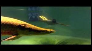 البحث عن سمكة الأمازون العملاقة صورة