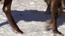 Siberia Reindeer show