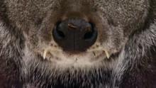 Siberia Musk Deer show