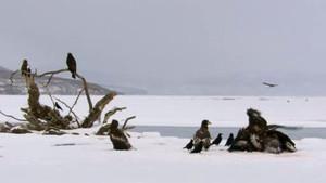 Kamchatka Steller's Sea Eagles photo