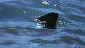 Weißer Hai Foto