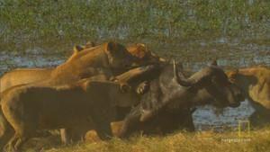 Охота на буйвола фото