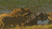Охота на буйвола программа
