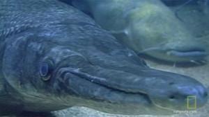 Timsah Balığı fotoğraf