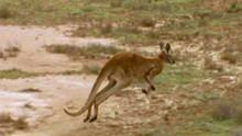 Kangoeroes in de problemen Programma