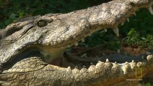 The Nile Crocodile photo