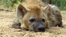 Hyena Shoot show