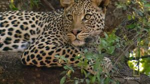 Leopard Shoot photo