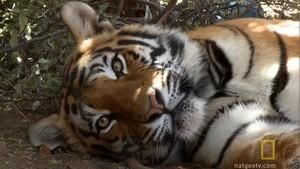 Tiger Birth photo