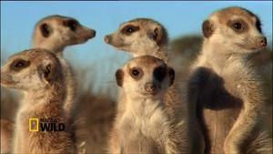 Meerkat Mob photo