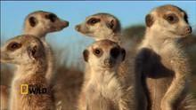 Meerkat Mob show
