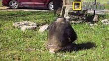 Chimp Breakout show