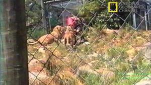 Lion Attack photo