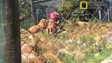 Lion Attack show
