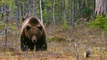 סכנה לגור דובים תוכנית