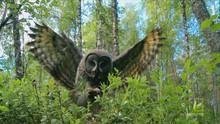 Bufniță la vânătoare documentar