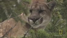 Cougar Capture show
