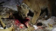 Így esznek a pumák film