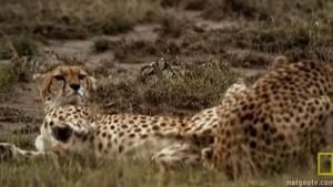 Lustful Cheetahs photo