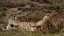 Lustful Cheetahs show