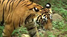 Braconnage du tigre Voir la fiche programme