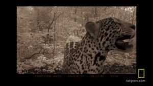 Elusive Jaguar photo