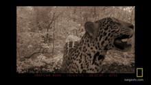 Elusive Jaguar show
