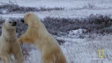 Polar Bear Survival show