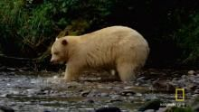 Spirit Bear Salmon Feast show