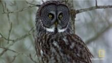 Great Grey Owl show
