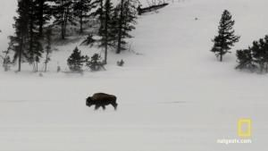 Bison In Harsh Winters: Bizons in de kou Foto
