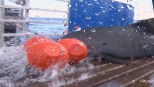 Încă un rechin-tigru în cârlig imagine