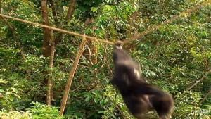 Chimp Escape photo