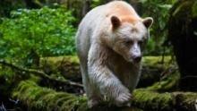 Moksgm'ol, l'ours fantôme Voir la fiche programme