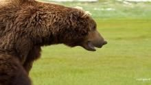 Brown Bears Battle show