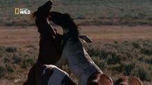Combat de chevaux sauvages Voir la fiche programme