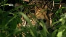 Jaguar vs Caïman Voir la fiche programme