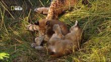 Le lynx d'Eurasie Voir la fiche programme
