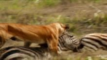 Útok africké divoké kočky pořad