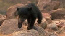 Baloo, l'ours paresseux Voir la fiche programme