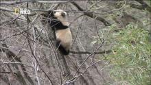 Développement du jeune panda Voir la fiche programme