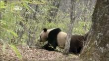 Combat de pandas Voir la fiche programme