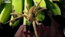 L'araignée-banane ou Phoneutria Voir la fiche programme