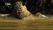 La chasse au caiman Voir la fiche programme