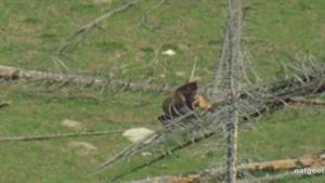 Aflevering Grizzly Bear: de eerste jacht Foto