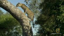 Лев против леопарда программа